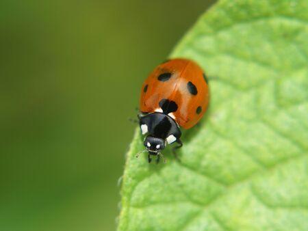 Ladybird on a green flower    photo