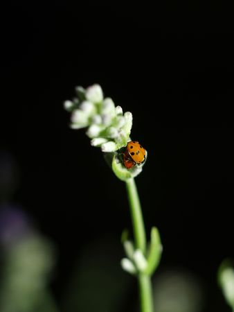 Ladybirds having  photo