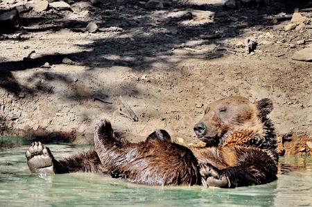 Playful brown bear in the water Stock Photo - 14974761