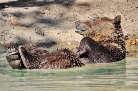Playful brown bear in the water Stock Photo