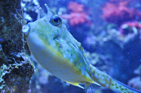 Two Horned Cow fish Stock Photo - 17558931