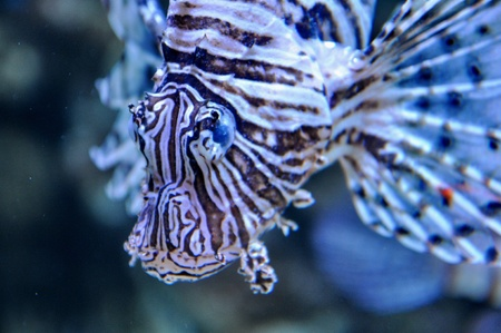 Lion fish in the water photo