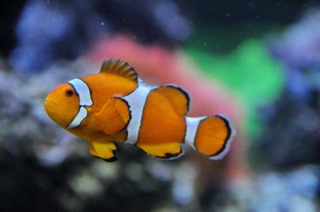 Anemonefish in the water