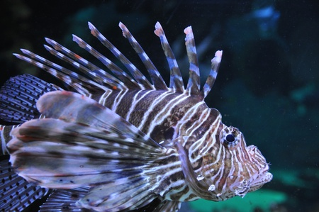 Lion Fish in water Stock Photo - 18015324