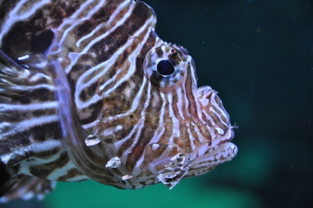 Lion fish in the water Stock Photo - 18514574