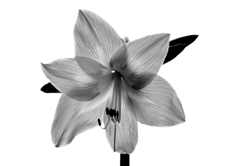 Amarilis flower in black and white Stock Photo