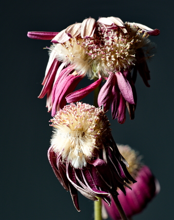 withered flower: Purple withered flower