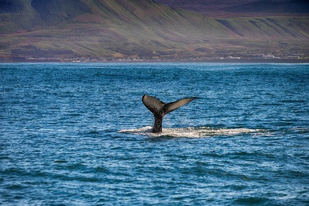 Tail of a whale in Husavik, Iceland 免版税图像 - 72768175
