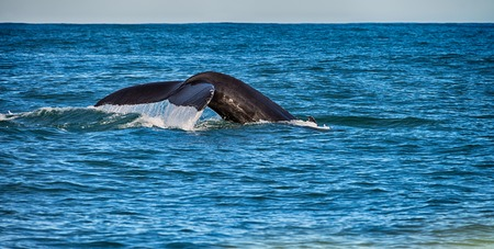 Tail of a whale in the sea of Husavik, Iceland Stock Photo