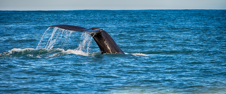 Tail of a whale in Husavik, Iceland