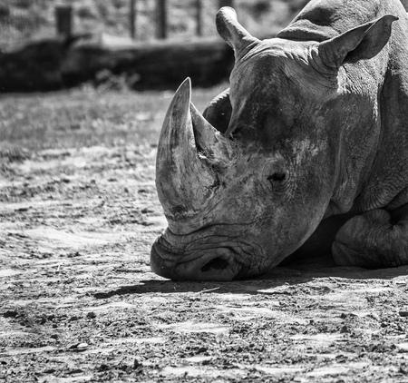 Big rhinoceros on a field