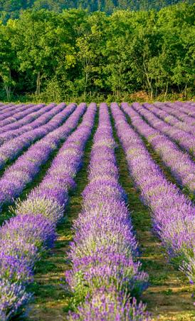 plateau: Levander Fields