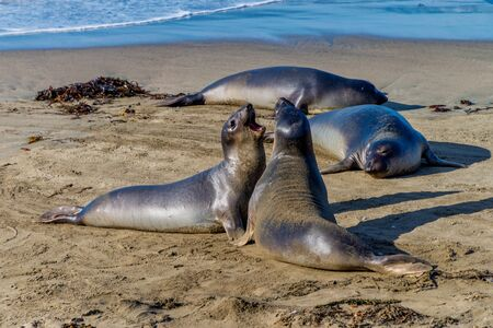 Elephant seals resting on the beach in California, USA