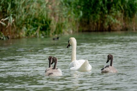 Mother Mute Swan and Cygnets 免版税图像