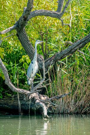 Grey Heron, Ardea cinerea, standing on a branch in front of reed 免版税图像
