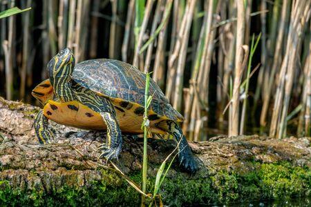 European pond turtle or Emys orbicularis on a branch