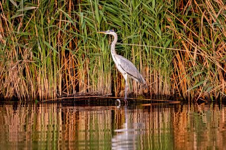 Grey Heron, Ardea cinerea, standing in front of reed in the morning
