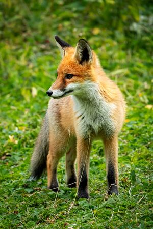 Portrait of a red fox, Vulpes vulpes on a green background