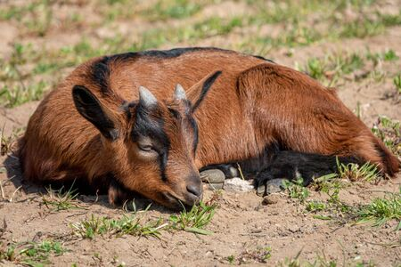 Young brown goat in grass field