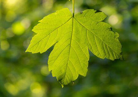 Fresh green leaf at spring