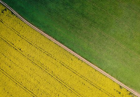 Yellow rapeseed field in bloom at spring