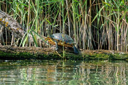 European pond turtle or Emys orbicularis on a log 免版税图像