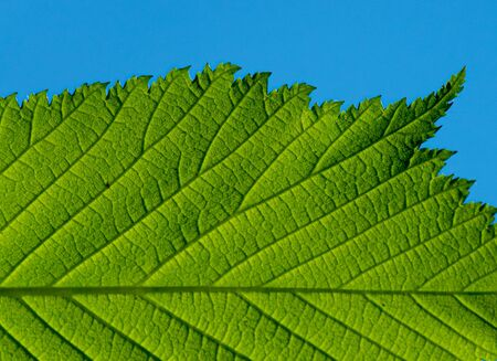 Fresh green leaf of a tree at spring