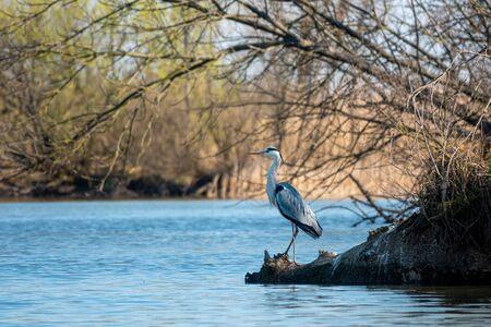 Beautiful grey heron on a lake