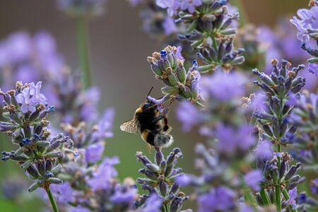 Lavenders close-up in summer under vineyards 免版税图像