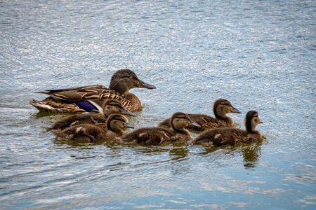 Family of ducks, mother Mallard and ducklings
