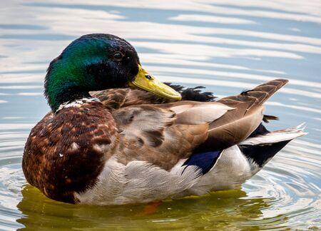 Mallard duck male, river bird