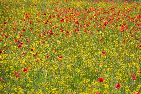 Field of Corn Poppy Flowers Papaver rhoeas in Spring 免版税图像