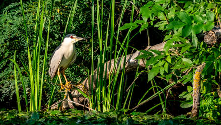 Night heron sitting on the branch on a lake 免版税图像