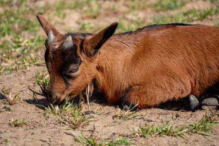 Young brown goat in grass field at spring 免版税图像