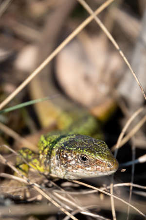 Green lizard strolling in the grass on the ground 免版税图像
