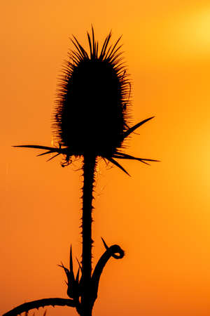 Silhouette of weed on the meadow at sunset 免版税图像