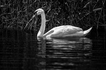 Swan swimming on water in black and white