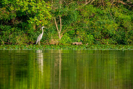 Beautiful grey heron fishing on a lake