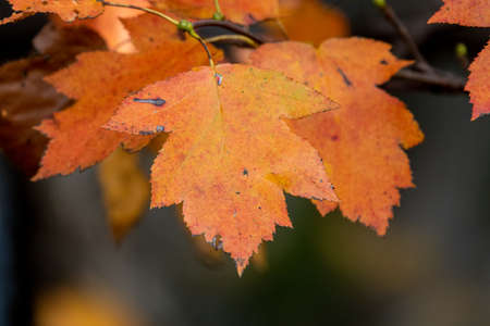 autumn leaves, very shallow focus 免版税图像