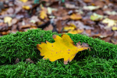 Yellow leaf on green moss in the forest 免版税图像 - 158211105