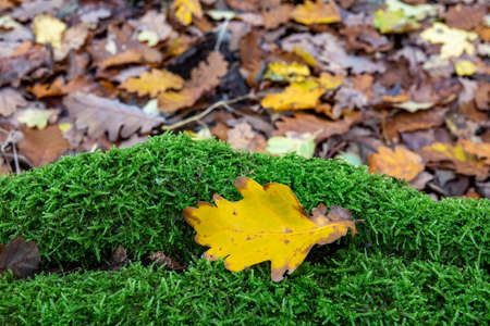 Yellow leaf on green moss in the forest