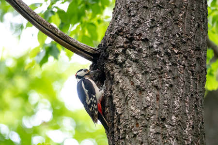 The woodpecker, Dendrocopos major is a species of piciform bird of the Picidae family