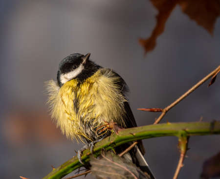 The great tit Parus major is a passerine bird in the tit family Paridae 免版税图像