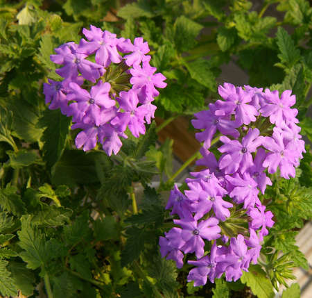 Verbena Stock Photo - 376571