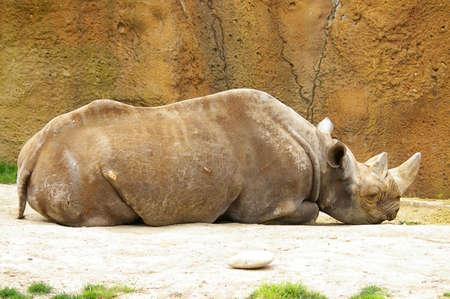 Black rhinoceros sleeping at the zoo photo