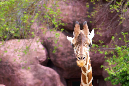 Inquisitive giraffe at the zoo Stock Photo - 391819