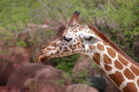 Giraffe at the zoo Stock Photo - 391820