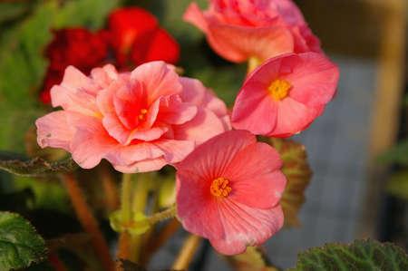 begonia: Tuberos Begonia