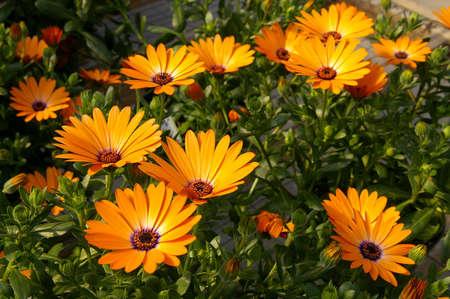 骨盆 - 橙色非洲雏菊