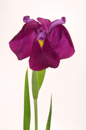Isolated Iris Blossom